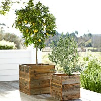 dwarf-bare-root-meyer-lemon-tree-o
